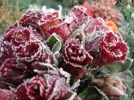 rose-15384_640