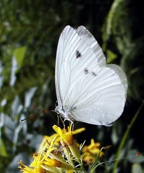farfalla-bianca