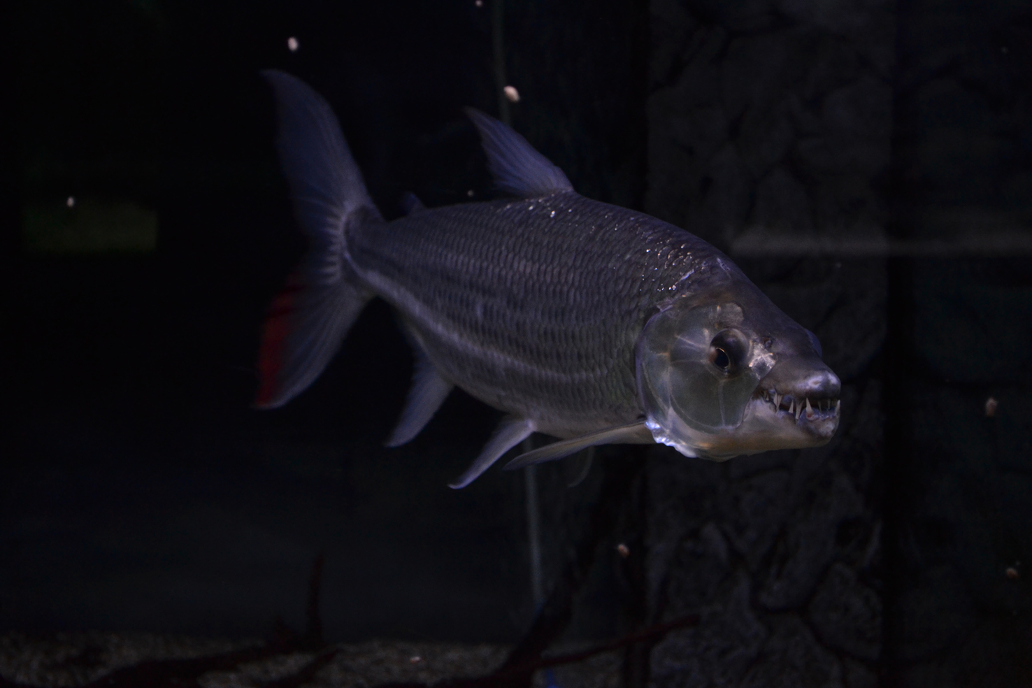Hydrocynus goliath – pesce tigre